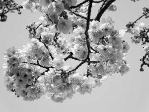 alice-le-guiffant-se-donner-de-lamour-cerisier-en-fleur